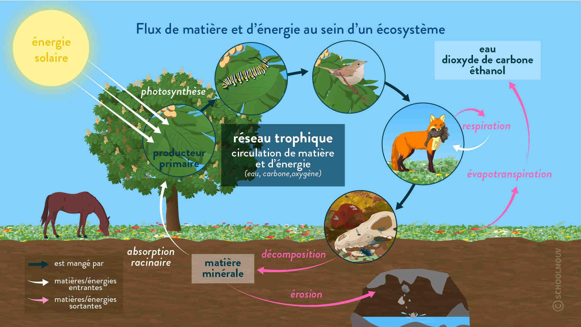 Comment fonctionne l'écosystème?