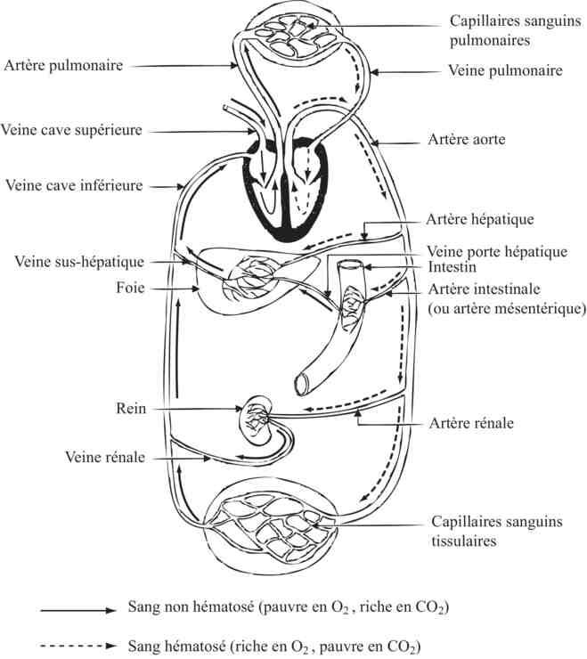 Qu'est-ce que la physiologie et l'anatomie ?
